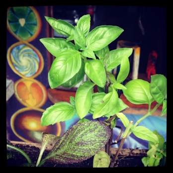 Best friend - the basil plant.
