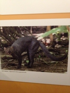 This is a Jaguarundi -- one of the few native wild cats still in Costa Rica.
